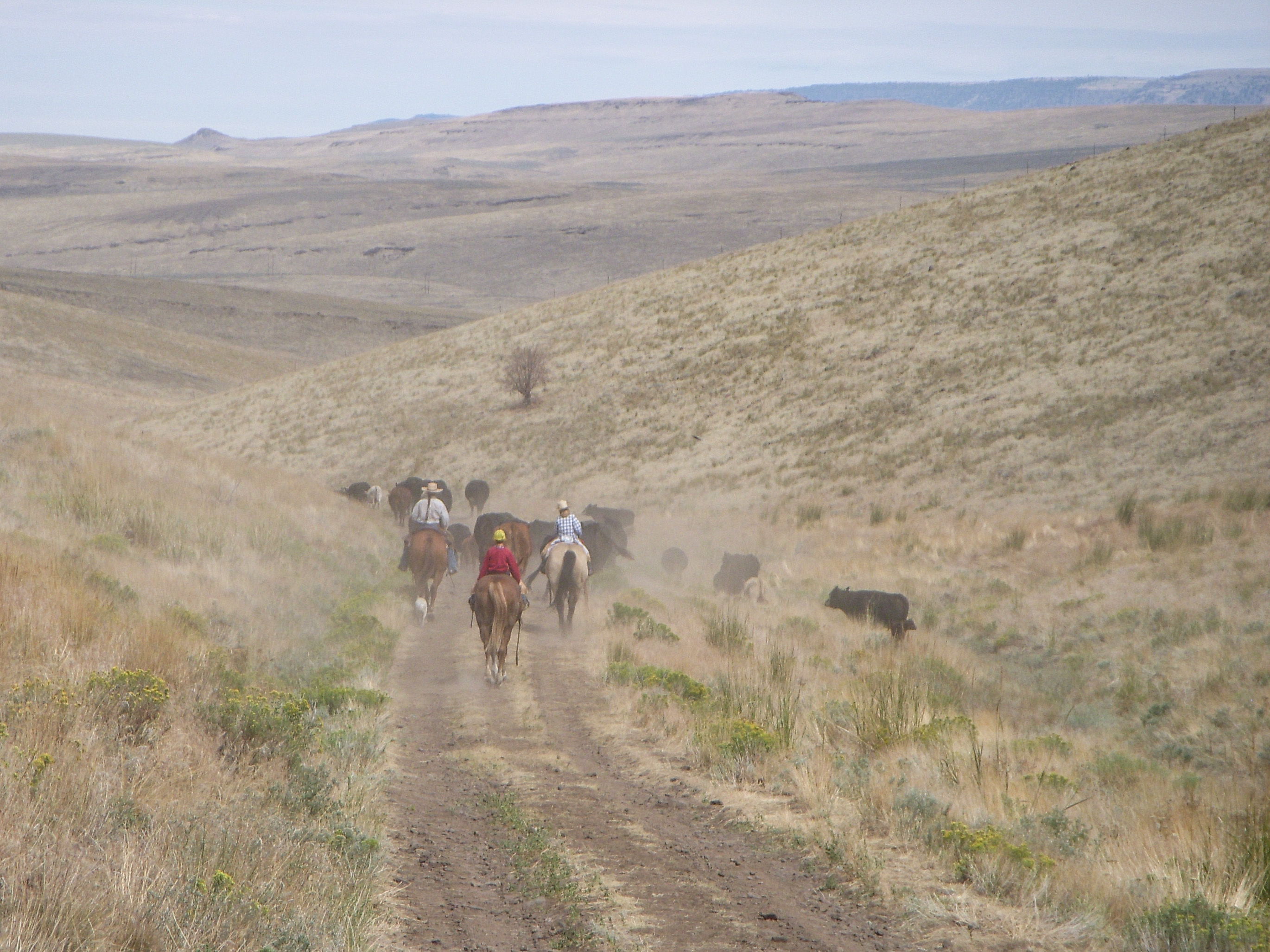 riders moving cows out of the Pueblo Mountains