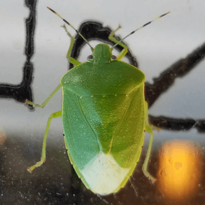 It's a Green Stink Bug!