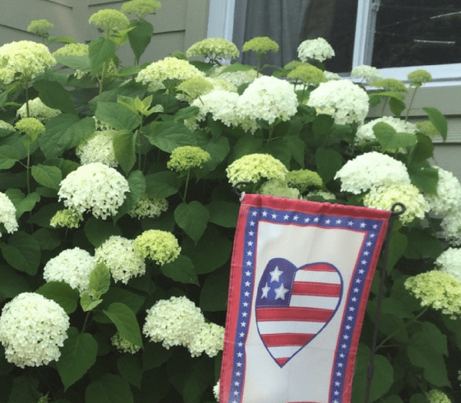 Why, When and How to Prune Annabelle Hydrangea