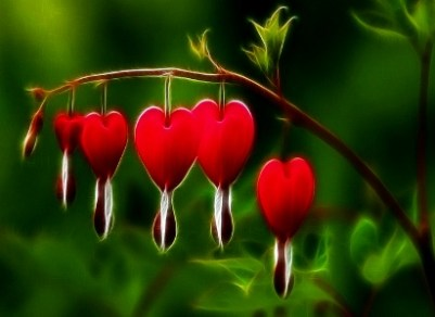 bleeding-heart.jpg