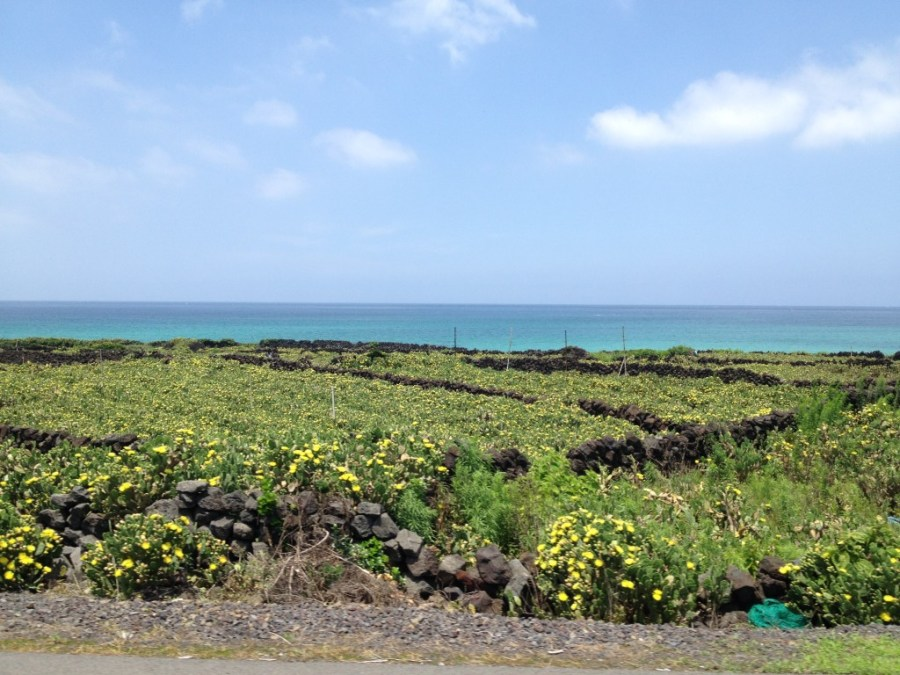 Cactus fields on the west coast of Jeju Island
