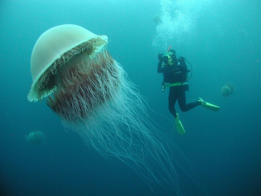 A Nomura's Jellyfish, stolen from redditor quincydental.