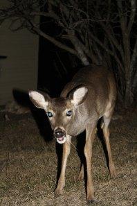 Whitetail deer, Pipe Creek, TX