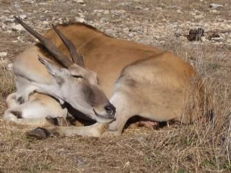 Eland, Natural Bridge Wildlife Ranch, TX