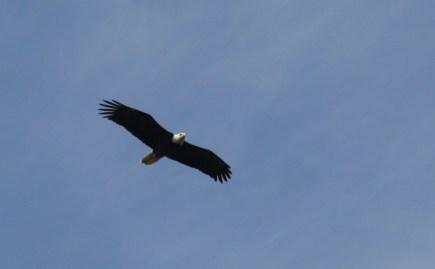 Bald eagle, Lopez Island, WA