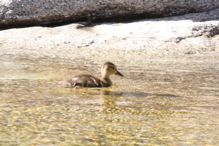 Duckling, Merced River, Yosemite National Park, CA