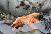 Seastar, Rialto Beach, Olympic National Park, WA