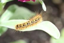 Caterpillar, WA