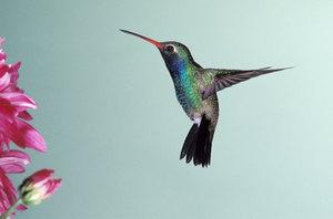 Humming20bird