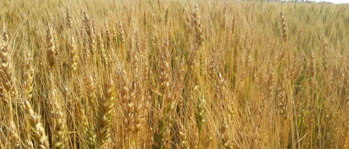 ハルユタカ小麦畑