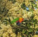A Rainbow Lorikeet in his element among a mass of honey-fragrant Melaleuca blossom - the Melaleucas were in flower everywhere throughout the coastal heathland.