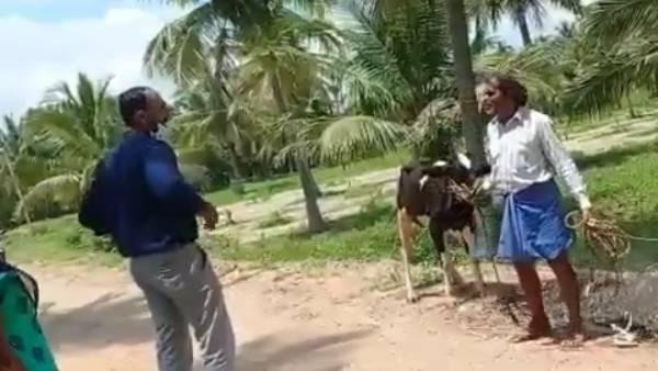 बकरी और गाय