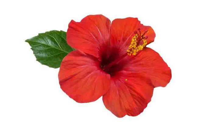 Hibiscus flower for Beauty