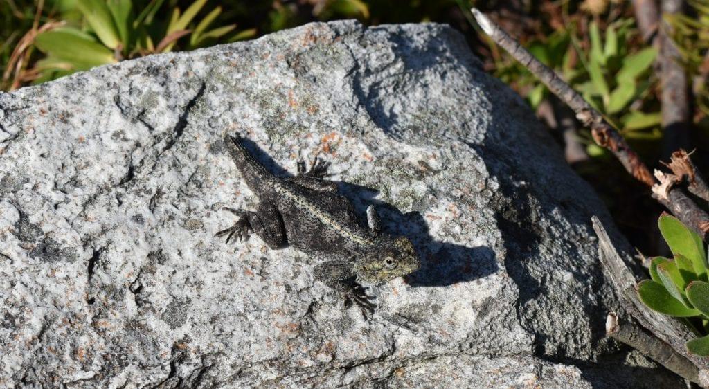 harold-porter-lizard