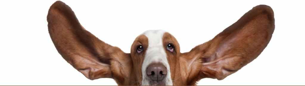 Bassett hound ears