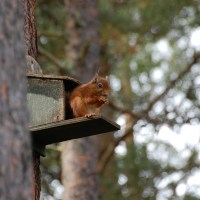 Where to watch red squirrels in the UK