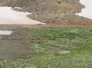 Carpet of marsh marigolds