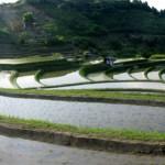 「曲線美の棚田」 撮影者:山村和哉 撮影地:大阪千早 撮影日:2005年6月5日