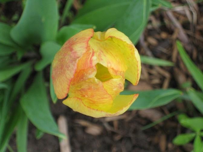tulip-opening-med