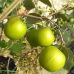 apel india