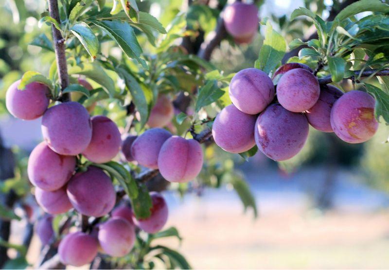 cara budidaya pohon bibit plum