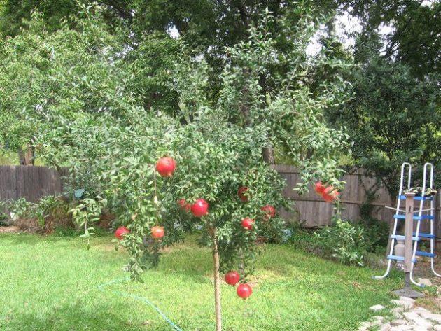 pohon delima merah