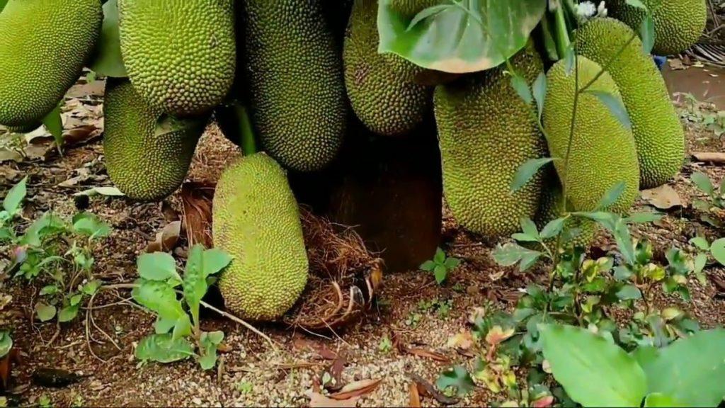 buah cempedak unggul