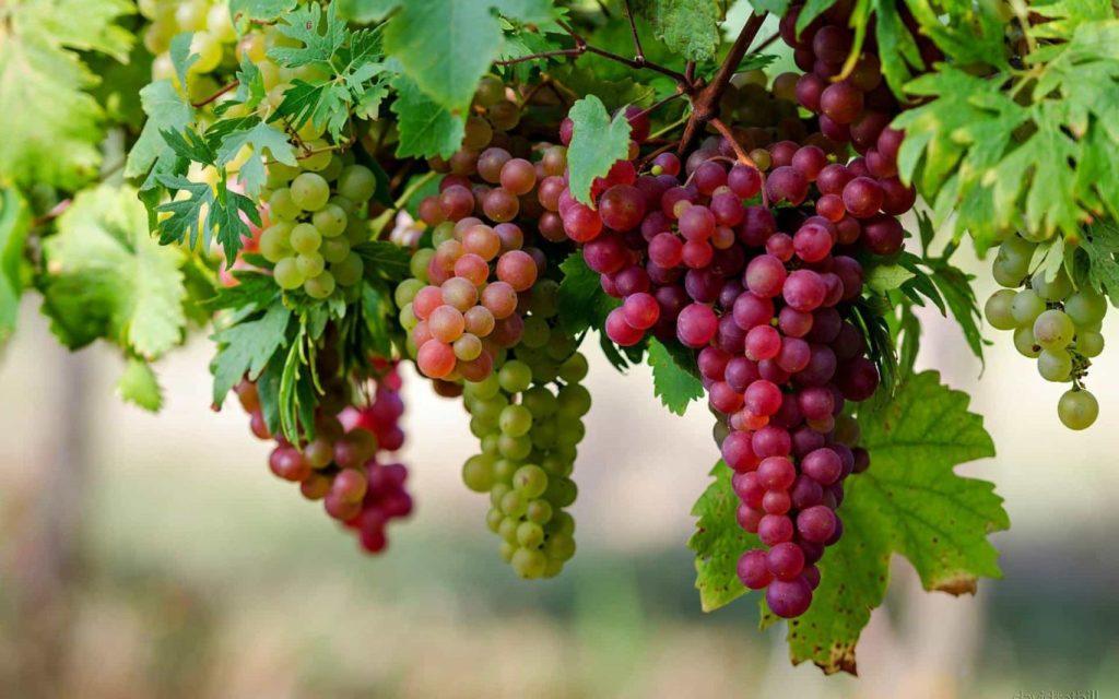 tabulampot buah anggur