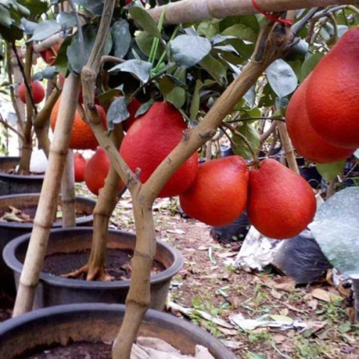 bibit jeruk red pamelo