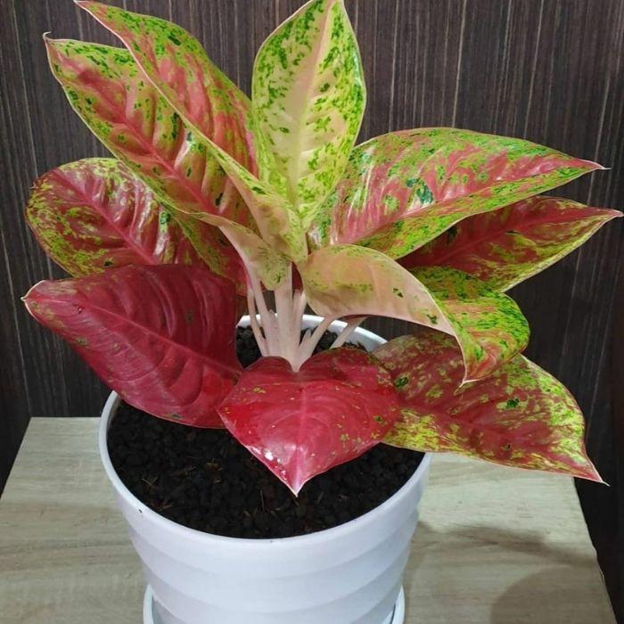 tanaman aglonema gaaruda batik