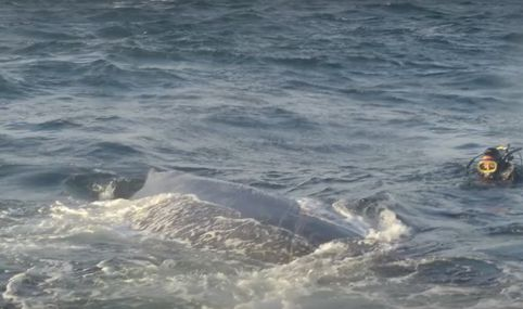 whale thanks its rescuers
