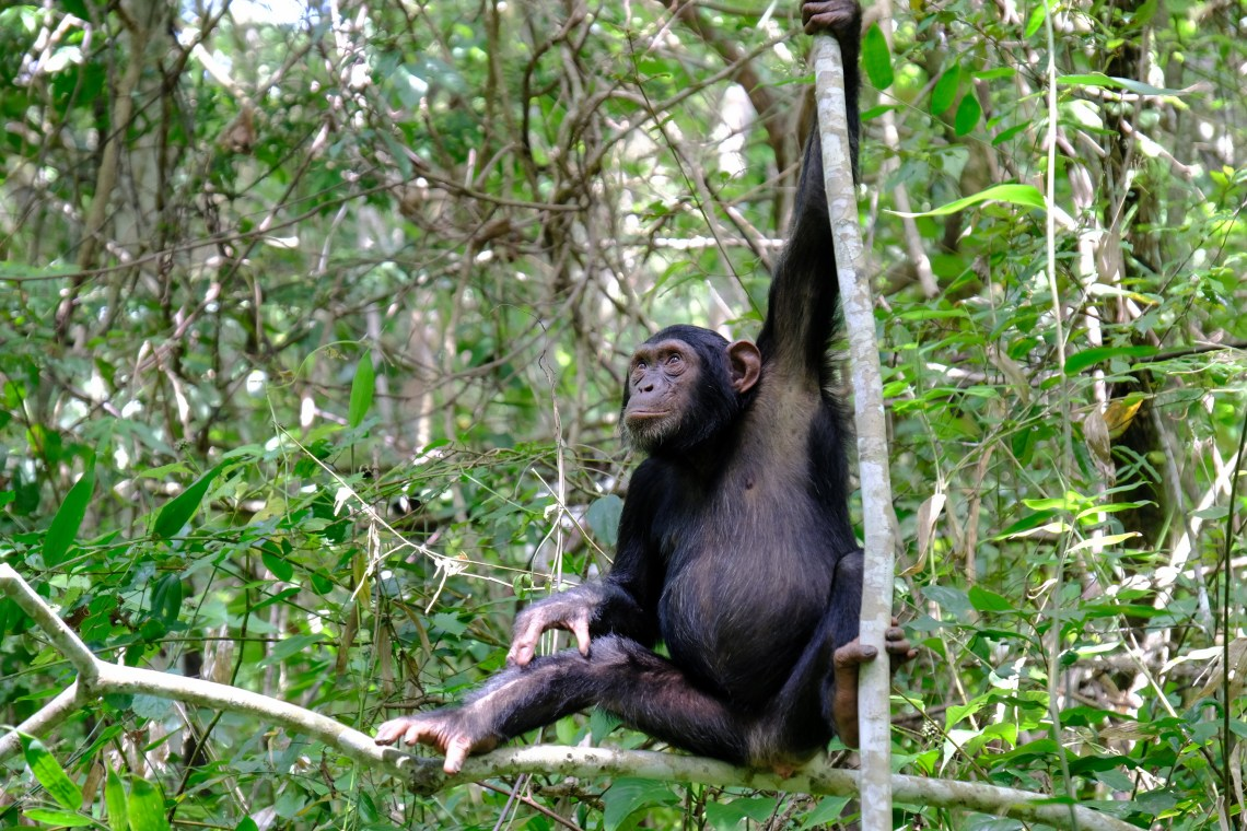 chimpanzee in Mahale national park
