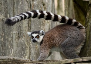 Claire Buswell Lemur