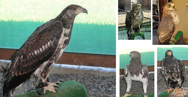 adult and juvenile gymnogene, martial eagle, black eagle and african fish eagle