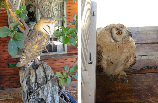 barn owl and bengal eagle owl