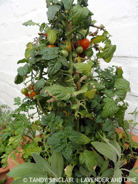 Tomato Bush In My Garden November 2015