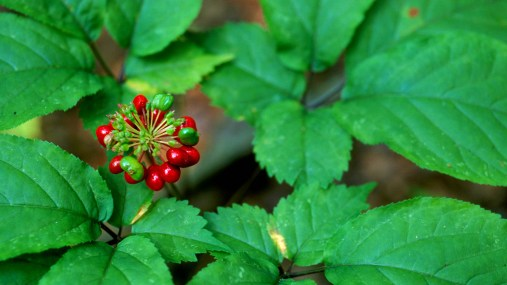 Ginseng plant with fruit