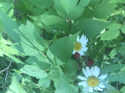 Wild Rasberries