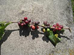 Coffee Berry Vine