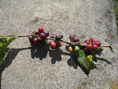 Coffee Berry Vine