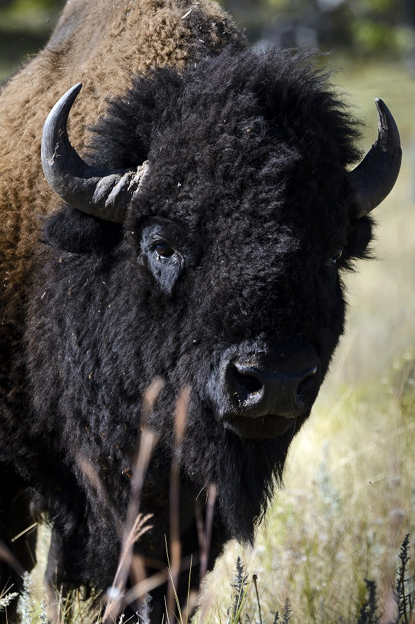 Buffalo_CloseUp