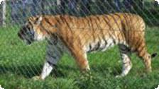 Tiger at Blair Drummond Safari Park