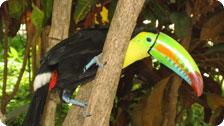 Santa Clara's resident toucan