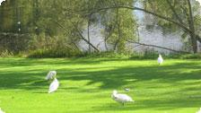 Swans on the Univeristy Campus