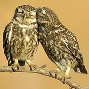 Owls as tangueros in perpendicular position.