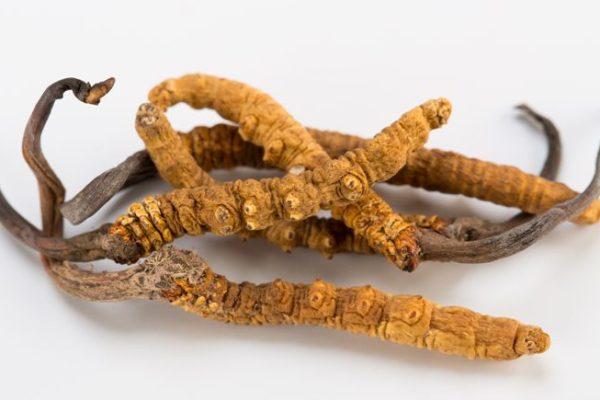 Cordyceps an immunosuppressive drug 冬虫夏草的免疫抑制作用