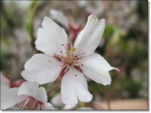 しだれ桜開花