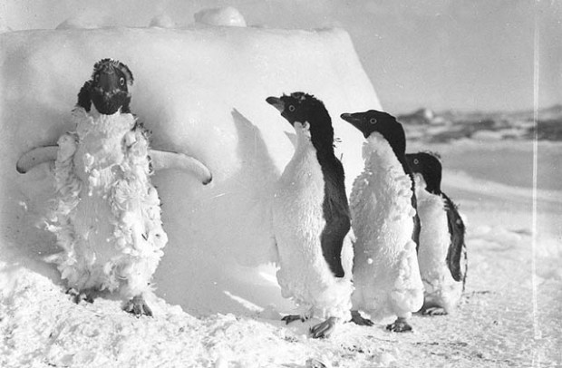 Molting Penguins