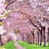 桜開花予報2017!名古屋は開花が3/27、満開が4/6だよ。