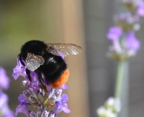 Lavendel er populære blant humlene